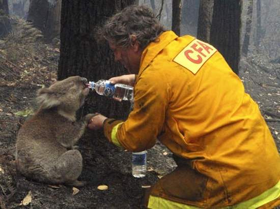 aussie-fire-koala-bear